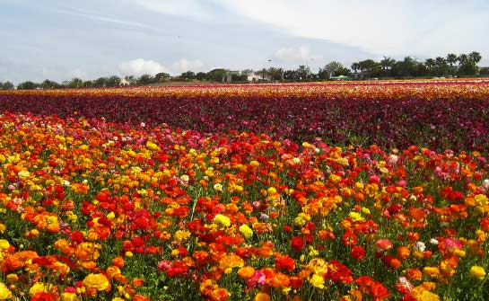 Carlsbad-Flower-Fields-feat